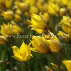 tulipa sylvestris 2 rosen von schultheis. Black Bedroom Furniture Sets. Home Design Ideas