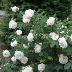 botzaris 5 rosen von schultheis. Black Bedroom Furniture Sets. Home Design Ideas