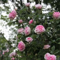 k nigin von d nemark 4 rosa rosa alba historische rosen rosen rosen von schultheis. Black Bedroom Furniture Sets. Home Design Ideas
