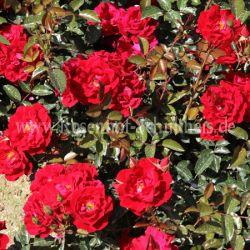 alpengl hen 2 rot bodendecker moderne rosen rosen rosen von schultheis. Black Bedroom Furniture Sets. Home Design Ideas