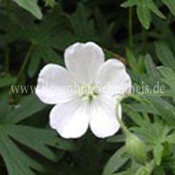 geranium sanguineum 39 album 39 blut storchschnabel weiss rosenbegleiter pflanzen rosen. Black Bedroom Furniture Sets. Home Design Ideas