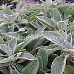 Stachys byzantina 'Silver Carpet' - Teppich-Woll-Ziest