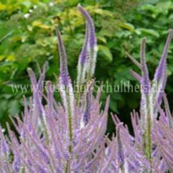 Veronicastrum virginicum 'Fascination' - Kandelaber-Ehrenpreis