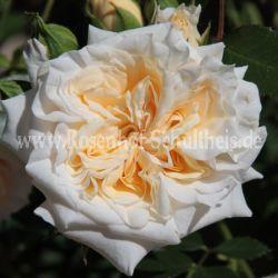 honeymilk weiss zwergrosen moderne rosen rosen. Black Bedroom Furniture Sets. Home Design Ideas