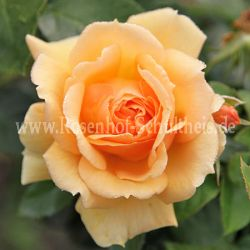 julia rosen online kaufen im rosenhof schultheis rosen online kaufen im rosenhof schultheis. Black Bedroom Furniture Sets. Home Design Ideas