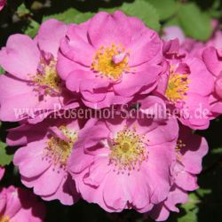 Rosa californica plena