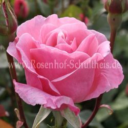 The Queen Elizabeth Rose