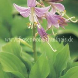 Hosta 'Lemon Lime'