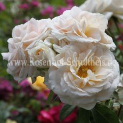 Lions Rose®