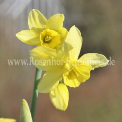 Narcissus 'Stint'