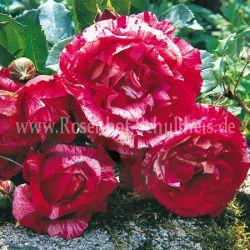 mehrfarbig moderne strauchrosen moderne rosen rosen rosen online kaufen im rosenhof. Black Bedroom Furniture Sets. Home Design Ideas