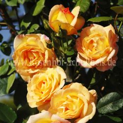 pardure d 39 or gelb moderne kletterrosen kletterrosen rosen rosen von schultheis. Black Bedroom Furniture Sets. Home Design Ideas