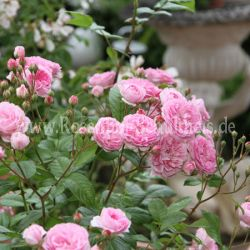brentano rose 3 rosen von schultheis. Black Bedroom Furniture Sets. Home Design Ideas