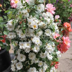 rosa yakushimaensis wildrosen wurzelechte rosen. Black Bedroom Furniture Sets. Home Design Ideas