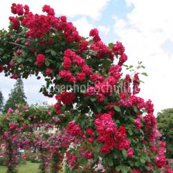 rot moderne kletterrosen kletterrosen rosen rosen. Black Bedroom Furniture Sets. Home Design Ideas