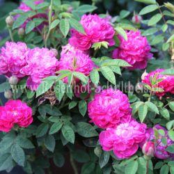parvifolia 3 rosen von schultheis. Black Bedroom Furniture Sets. Home Design Ideas