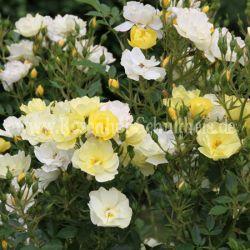 golden age gelb rambler kletterrosen rosen rosen. Black Bedroom Furniture Sets. Home Design Ideas