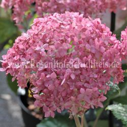 Hydrangea 'Invincibelle' syn. 'Pink Annabelle'