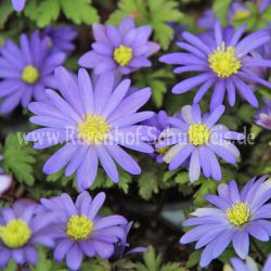 Anemone bl. 'Blue Shades'