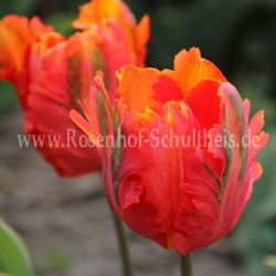 Tulipa 'Orange Favourite'
