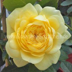 beetrosen adr rosen rosen rosen online kaufen im rosenhof schultheis. Black Bedroom Furniture Sets. Home Design Ideas