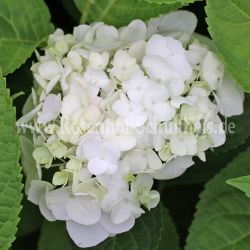 Hydrangea 'The Bride' - Endless Summer