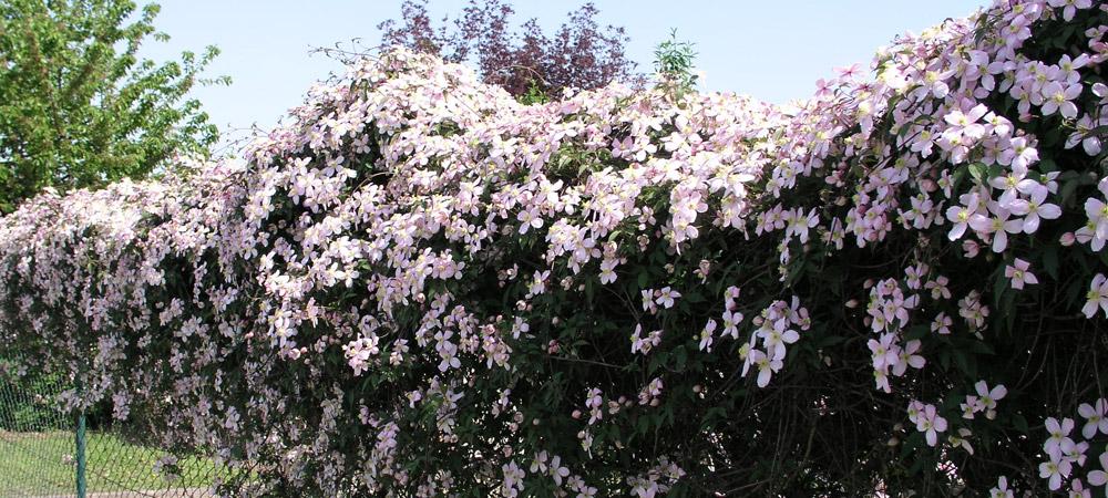 Gemeinsame Information - Clematis - Pflanzen – Rosen online kaufen im #JC_85