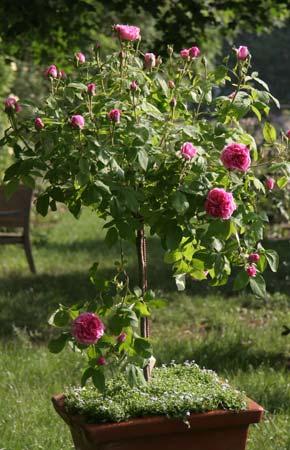 zwergstamm containerrose 50 cm historische stammrosen container rosen online kaufen im. Black Bedroom Furniture Sets. Home Design Ideas