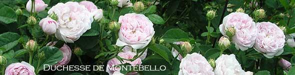 rosen im halbschatten rosen rosen online kaufen im. Black Bedroom Furniture Sets. Home Design Ideas