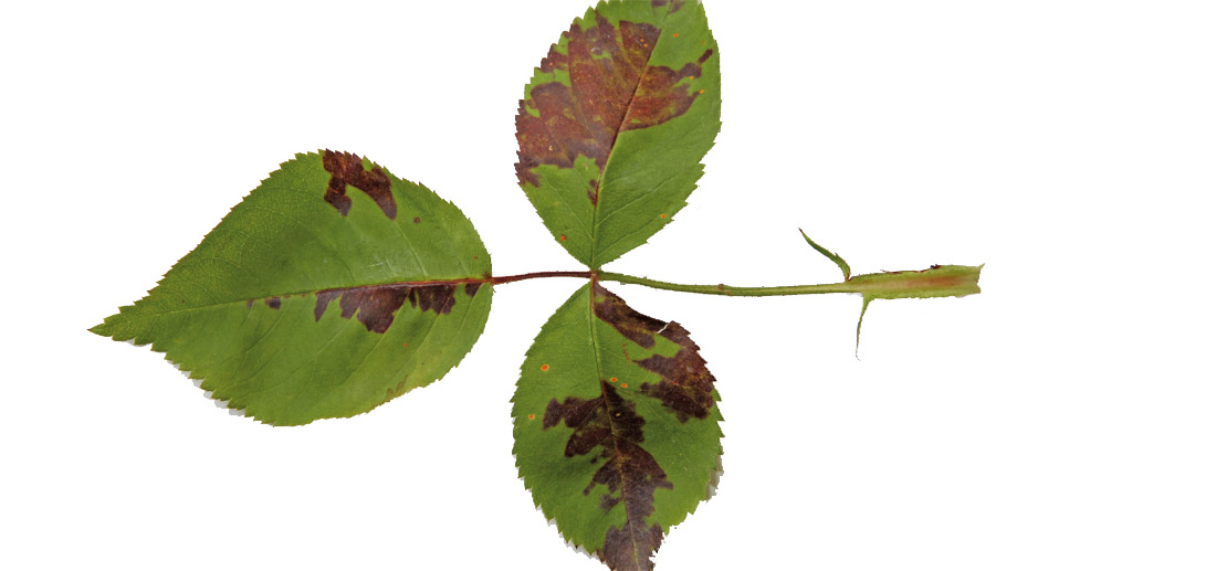 rosen braune flecken