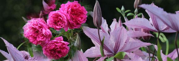 clematis rosen kombination clematis pflanzen rosen. Black Bedroom Furniture Sets. Home Design Ideas