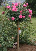 moderne stammrosen container rosen online kaufen im rosenhof schultheis. Black Bedroom Furniture Sets. Home Design Ideas