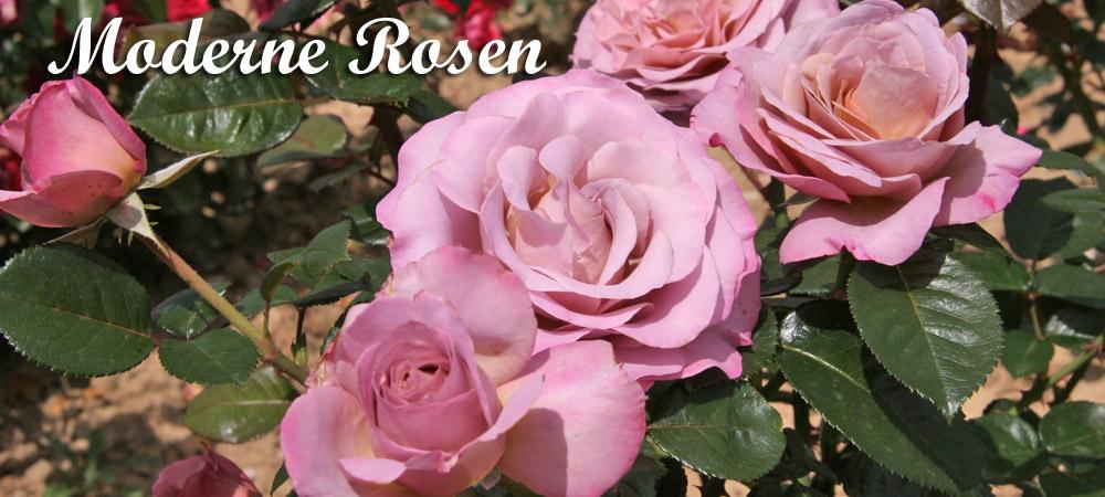 Rosenhof Schultheis – älteste deutsche Rosenschule