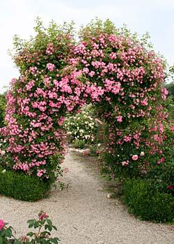 rosen fuer rosenbogen kletterrosen rosen rosen online kaufen im rosenhof schultheis. Black Bedroom Furniture Sets. Home Design Ideas