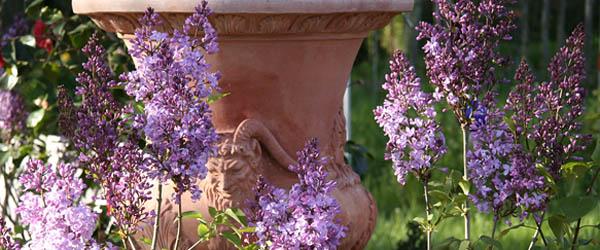 flieder pflanzen rosen online kaufen im rosenhof. Black Bedroom Furniture Sets. Home Design Ideas