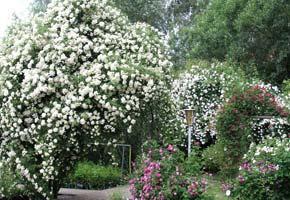 sehr winterharte rambler kletterrosen rosen rosen online kaufen im rosenhof schultheis. Black Bedroom Furniture Sets. Home Design Ideas