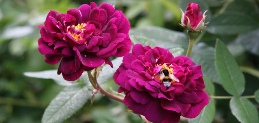 rosen auf sandboden rosen ratgeber informatives rosen online kaufen im rosenhof schultheis. Black Bedroom Furniture Sets. Home Design Ideas