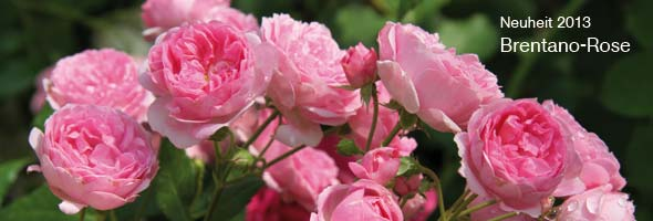bodendecker moderne rosen rosen rosen online kaufen. Black Bedroom Furniture Sets. Home Design Ideas