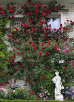 kletterrosen rosen rosen online kaufen im rosenhof. Black Bedroom Furniture Sets. Home Design Ideas