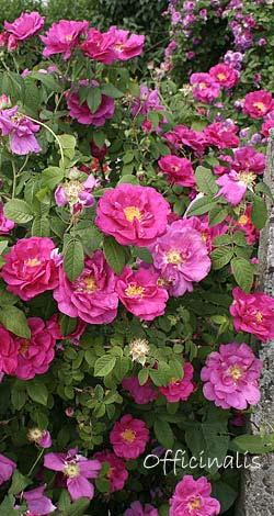 rosa gallica historische rosen container rosen. Black Bedroom Furniture Sets. Home Design Ideas