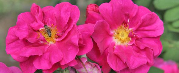 historische rosen rosen rosen online kaufen im. Black Bedroom Furniture Sets. Home Design Ideas