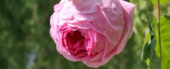Berühmt Historische_Rosen - Rosen – Rosen online kaufen im Rosenhof Schultheis @ZM_66