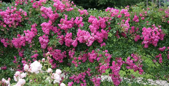 rambler kletterrosen rosen rosen online kaufen im. Black Bedroom Furniture Sets. Home Design Ideas