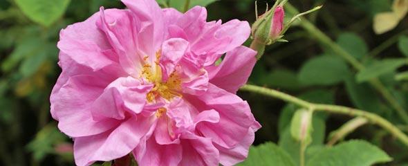 historische rosen rosen rosen online kaufen im rosenhof schultheis. Black Bedroom Furniture Sets. Home Design Ideas