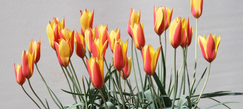 pflanzen rosen online kaufen im rosenhof schultheis. Black Bedroom Furniture Sets. Home Design Ideas