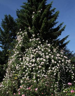 rambler kletterrosen rosen rosen online kaufen im rosenhof schultheis. Black Bedroom Furniture Sets. Home Design Ideas