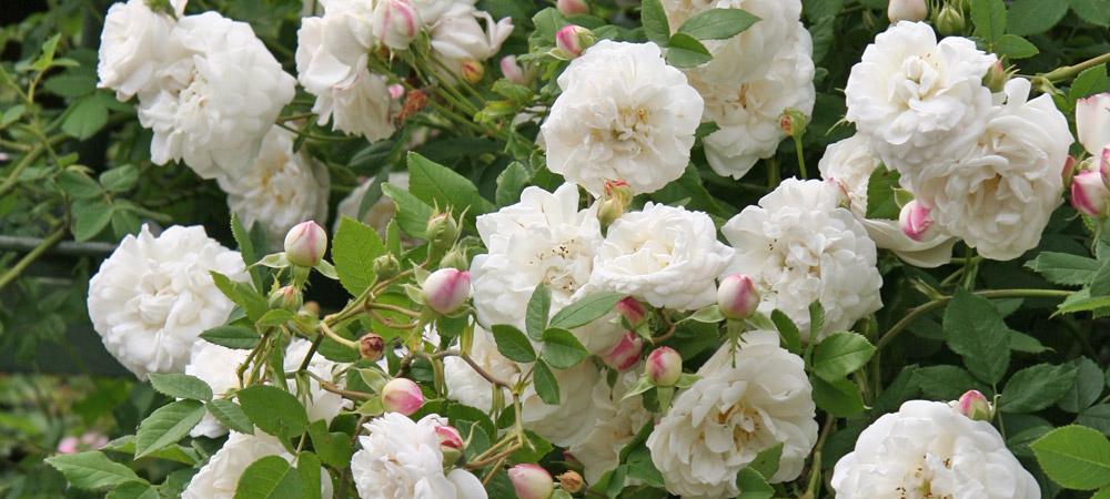 rosa alba historische rosen rosen rosen online. Black Bedroom Furniture Sets. Home Design Ideas