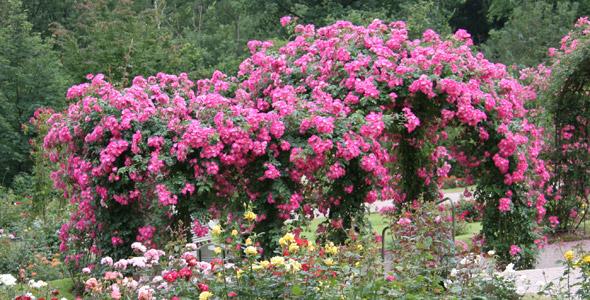 Klettergerüst Rosen : Rambler kletterrosen rosen u2013 online kaufen im rosenhof