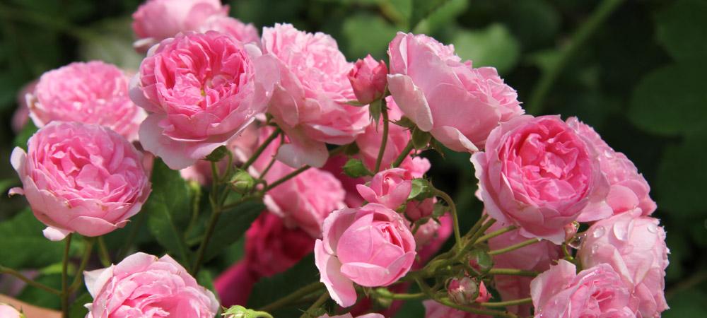bodendecker moderne rosen rosen rosen online kaufen im rosenhof schultheis. Black Bedroom Furniture Sets. Home Design Ideas