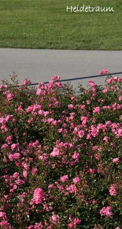 bodendecker moderne rosen container rosen online. Black Bedroom Furniture Sets. Home Design Ideas